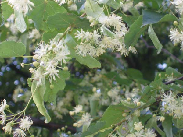 Basswood Tree Blooms