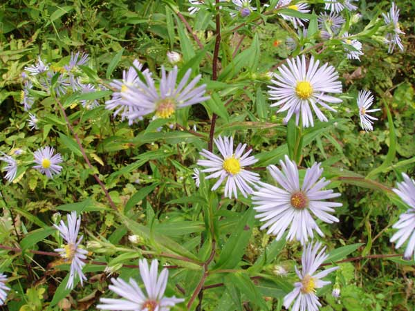 Lavender Fall Asters