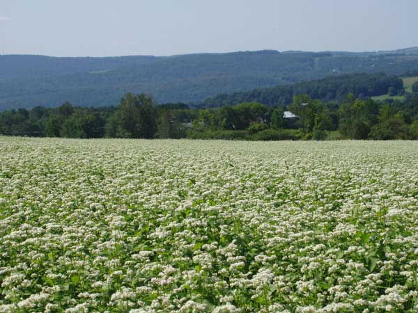 Field of Buckwheat in Bloom