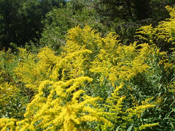 Goldenrod in Bloom