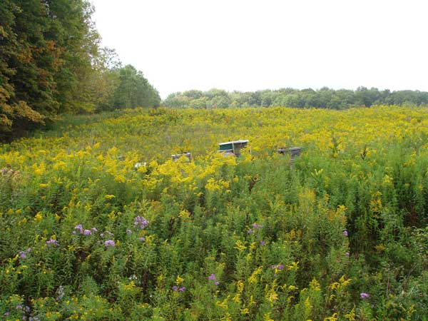 Hives in a Field of Blooming Goldenrod
