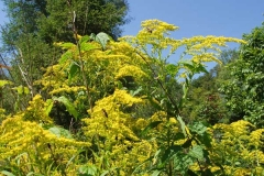 Goldenrod in Bloom with Sky