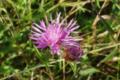 Spotted Knapweed in Bloom